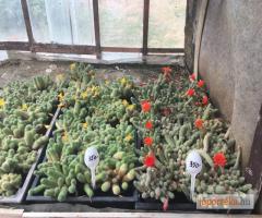 Nagy mennyiségű kaktusz eladó